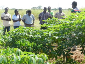 Cassava Improvement