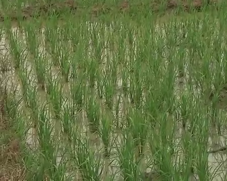 System-Rice-intensification-Project-launched-in-the-Northern-Region