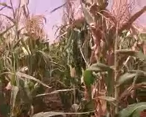 SARI-to-release-three-Hybrid-Maize-varieties